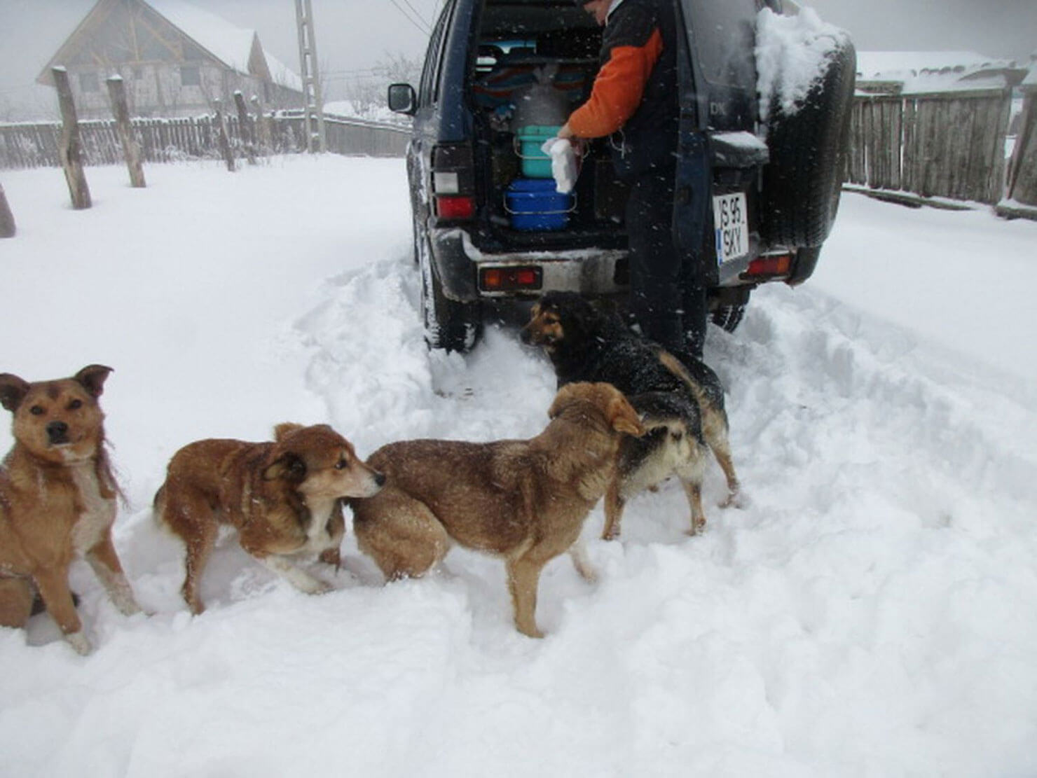 Rescuer feeding dogs in the deep snow