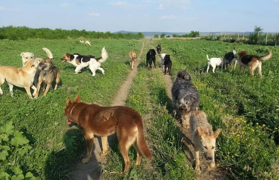 Romanian rescue dogs roaming the green grass field.